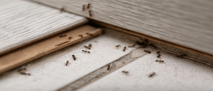 Emergency Ants Control Services